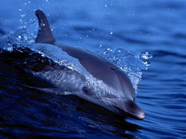 Free Living Dolphins Screensaver 1.0 software screenshot