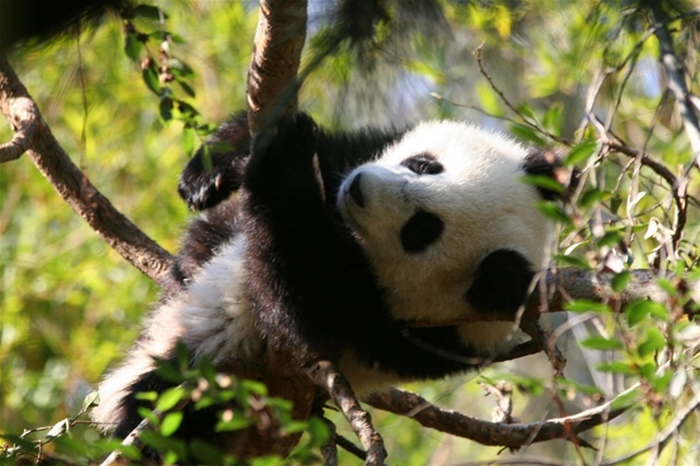 Giant Panda Screensaver 1.0 software screenshot
